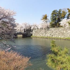恒例、彦根城跡のお花見「絶景かな、絶景かな」最終章