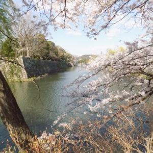 恒例、彦根城跡のお花見「絶景かな、絶景かな」⑤
