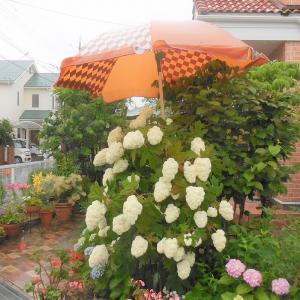 紫陽花とユリ・雨にも負けず