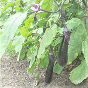 梅雨の晴れ間に収穫に行ってきました。