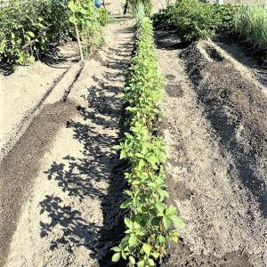 ジャガイモを植えてきました。