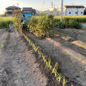 昨日、夕暮れに九条ネギ定植に畑へ