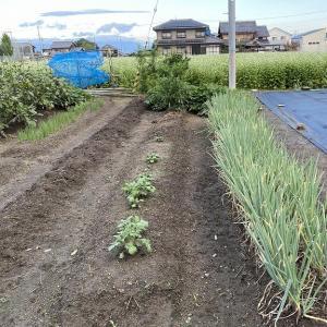 畑の無花果の実に毛虫が大量発生、退治してきました。