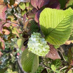 勘違い(。´・ω・)?、オオデマリが咲いていましたよ。