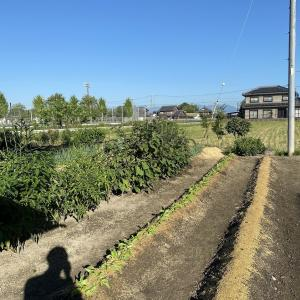 赤カブ種まきとワケギ定植と大根の間引きと収穫と灌水と