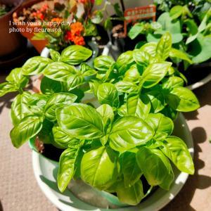 【おうち時間】ベランダ菜園再び♡バジルと枝豆とミニトマトが仲間入り