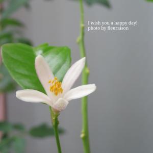 【ベランダ菜園】動画あり♡レモンの花とミツバチ♡