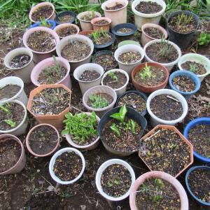 植物シリーズ 擬宝珠の芽出し