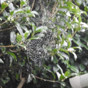 雨の日の蜘蛛の網が綺麗だ