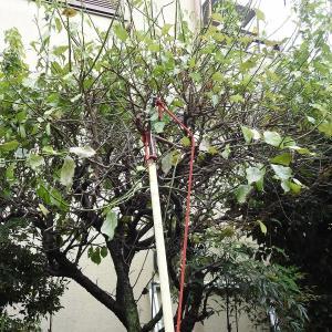 梅の木の枝落とし