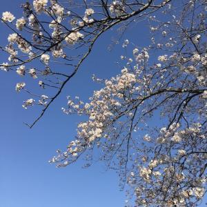 桜を憶う・イタリア〜鎌倉