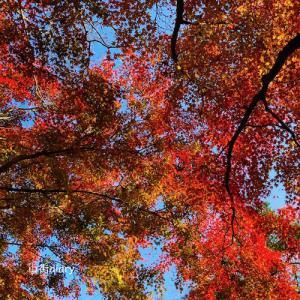 北鎌倉・明月院の紅葉