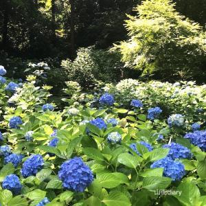 紫陽花だより(北鎌倉・明月院)