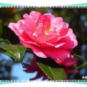 山茶花の花&今日は七五三の日♪