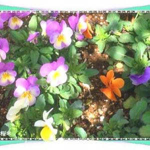 今日は銀閣寺の日&花言葉は小さな幸福等♪