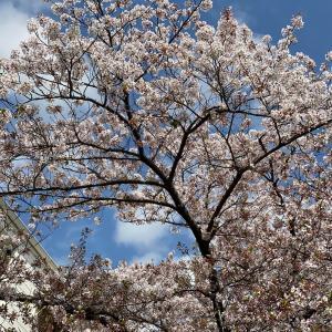 桜と履き心地のいいスニーカー