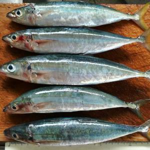 2019.09.12.県西の磯でフカセ、カゴ釣り。新魚種交えて楽しい8目釣り。