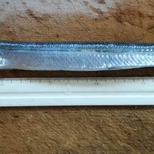 2019.10.31.三浦の磯でカゴ釣り。尺アジに恵まれる。