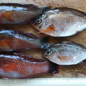 2020.02.20.三浦の磯でフカセとカゴ釣り。釣果には恵まれず、ベラとウミタナゴのみ。