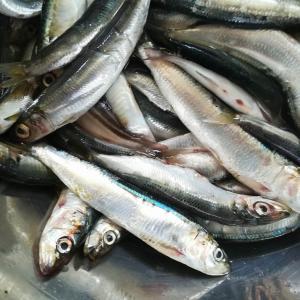 2020.09.09.県南の漁港でイワシ釣り