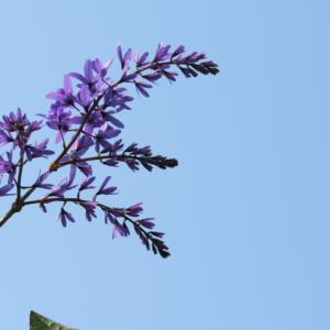 花木①ペトレア