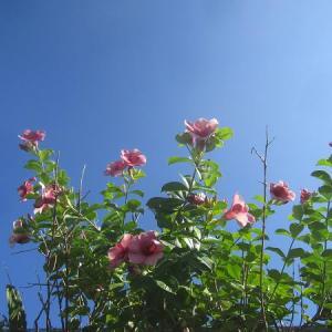 ガーデン150 アラマンダ