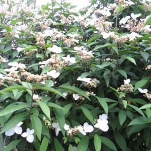 花木②トキワアジサイ