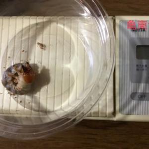 亀東幼虫、プリンカップから菌糸ボトルにお引越し