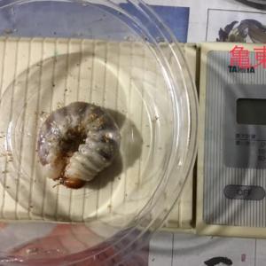 京都 亀岡 東別院産 幼虫