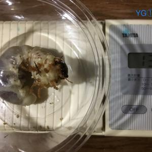 我が家で産卵した個体の菌糸ボトル交換