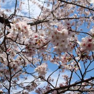 今日は桜でいっぱい