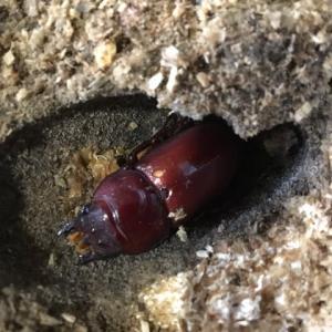 材割、天然クワガタ幼虫が