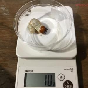 4月10日に購入して来たパラワンの幼虫