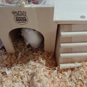 ハムスターの「ハムちゃん」新しい巣箱で快適そうです。