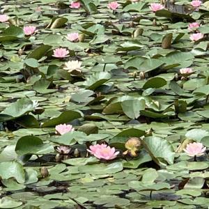 志木で蓮の花が咲いている