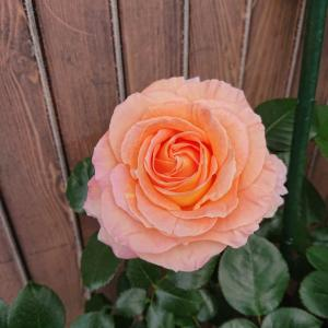 ピンクの薔薇なのにオレンジ色のバラが咲いた。
