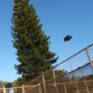 背の高い樅木