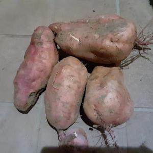 安納芋でスイートポテトタルト