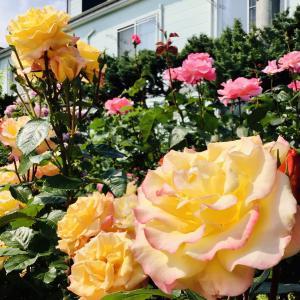湊高台 Ken Kumiオープンガーデン 個人宅の素敵な薔薇園と秋田犬