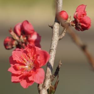 【日本文化】【行事・しきたり】「ひな祭り(3月3日)」に関する雑学・豆知識