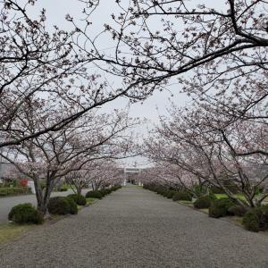 館山市・2020安房神社の桜