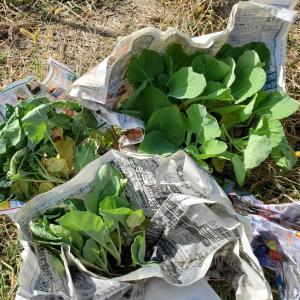 小さな畑    頂いた野菜の苗たち