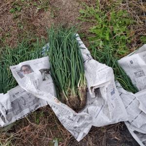 小さな畑     ノーと言わない家庭菜園