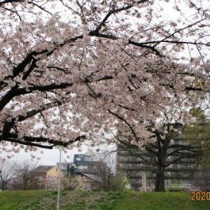 「桜咲く 当時と変わらぬ 西寺跡」