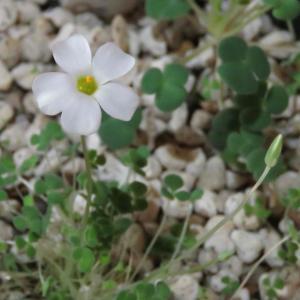 Oxalis lichenoides