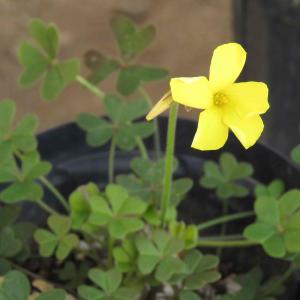 寒風の中・・咲く oxalis