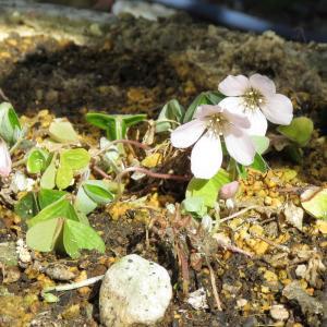 ミヤマカタバミ開花中
