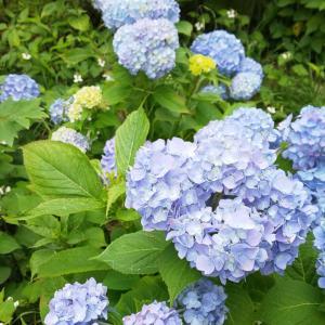 紫陽花の「あお」が好き