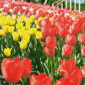 「かみゆうべつチューリップ公園」咲き誇る花に誰しも明るくなります!