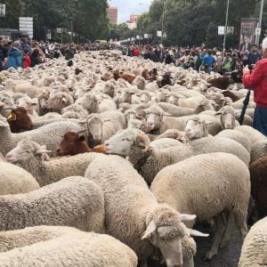 羊が道路歩いてる
